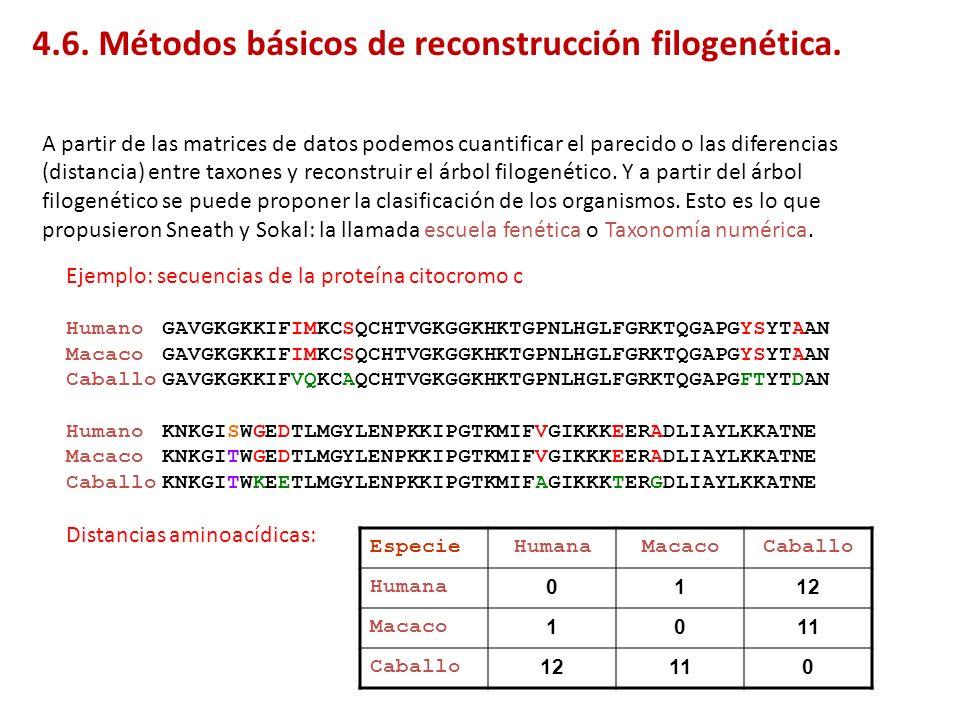 Ejemplo: distancias a partir de las secuencias de la proteína citocromo c EspecieHumanaMacacoCaballo Humana 0112 Macaco 1011 Caballo 12110 Humano Macaco Caballo 1 1 1 0 0 0 11 ABC El árbol que concuerda con una menor distancia (más parecido) entre especies que hace menos tiempo que han divergido es el A, que además concuerda con los datos del registro fósil.