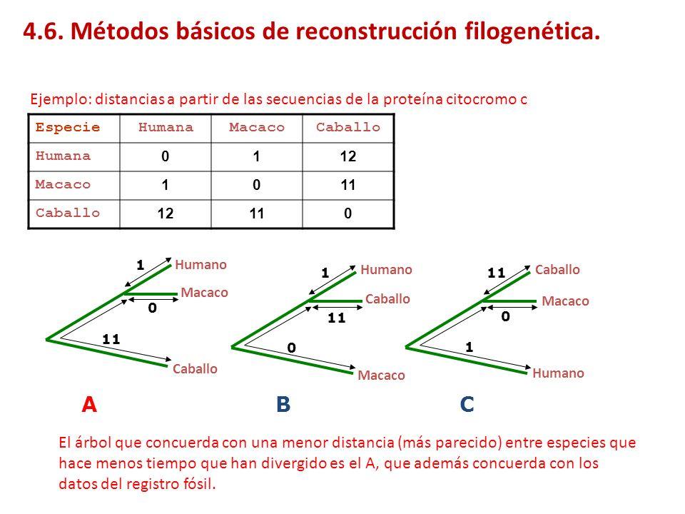 Para ello hay que recalcular las longitudes de las ramas de 1 a Y (L 1y ) y de 2 a Y (L 2Y ) y las distancias de Y a los restantes taxones (d Yk ), que Saitou y Nei demuestran que vienen dadas por: Una vez identificados los vecinos más próximos, se agrupan y se eliminan del árbol para volver a iniciar el ciclo con el nodo X: Árboles aditivos: método Neighbor-Joining (NJ) de árbol único X 1 2 3 4 5 6 7 8 Y X 3 4 5 6 7 8 Y 4.7.