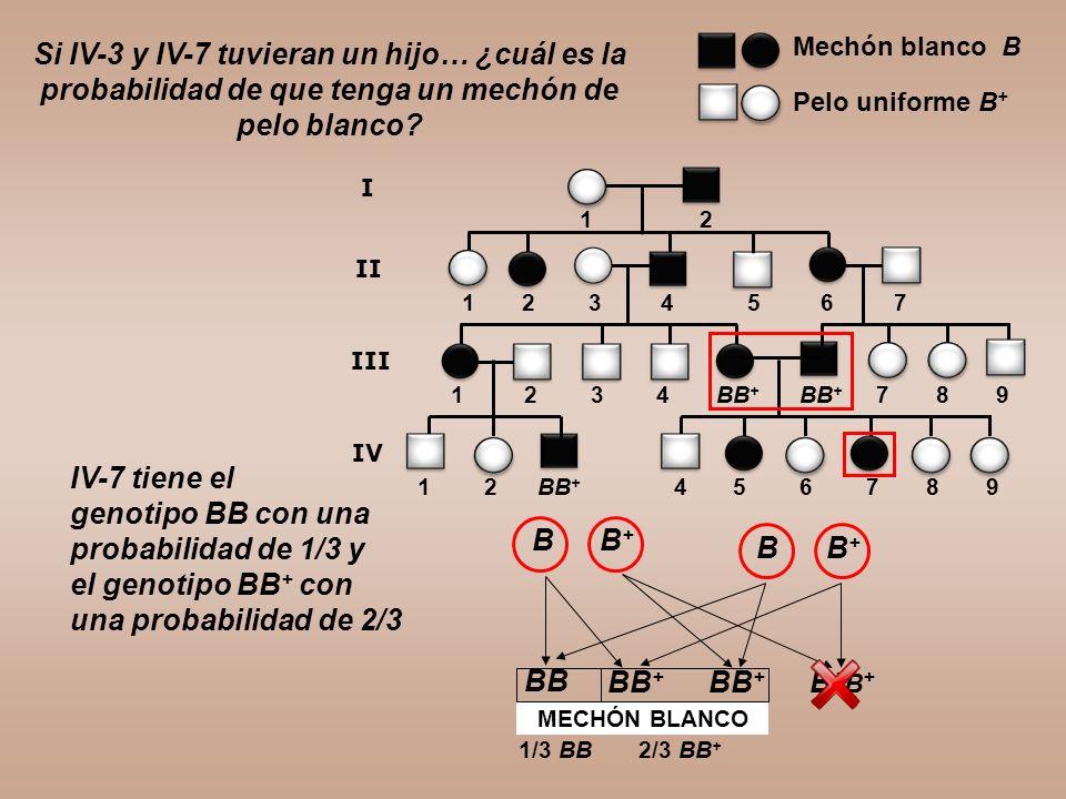 1 2 3 4 BB + BB + 7 8 9 1 2 BB + 4 5 6 7 8 9 Si IV-3 y IV-7 tuvieran un hijo… ¿cuál es la probabilidad de que tenga un mechón de pelo blanco? 1 2 3 4