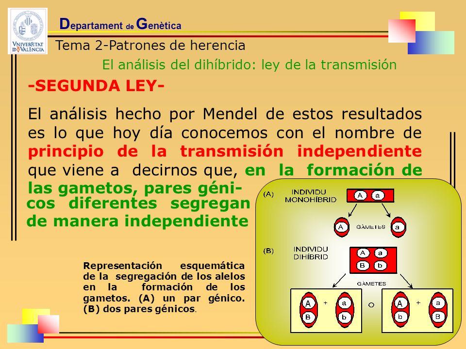 D epartament de G enètica Tema 2-Patrones de herencia El análisis del dihíbrido: ley de la transmisión -SEGUNDA LEY- El análisis hecho por Mendel de e