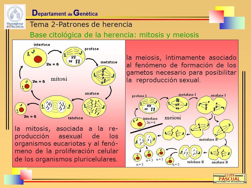 D epartament de G enètica Tema 2-Patrones de herencia Base citológica de la herencia: mitosis y meiosis LLUÍS PASCUAL UNIVERSITAT DE VALÈNCIA 20032003