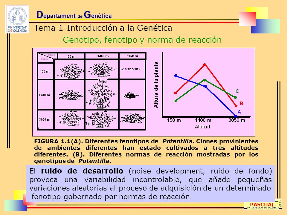 D epartament de G enètica Tema 1-Introducción a la Genética Genotipo, fenotipo y norma de reacción LLUÍS PASCUAL UNIVERSITAT DE VALÈNCIA 20032003 FIGU