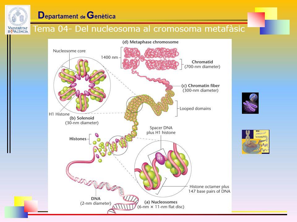 D epartament de G enètica Tema 04- Del nucleosoma al cromosoma metafàsic