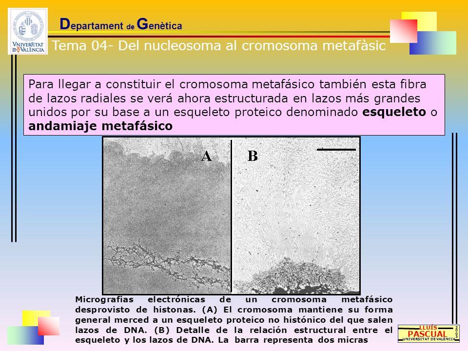 D epartament de G enètica LLUÍS PASCUAL UNIVERSITAT DE VALÈNCIA 20032003 Para llegar a constituir el cromosoma metafásico también esta fibra de lazos
