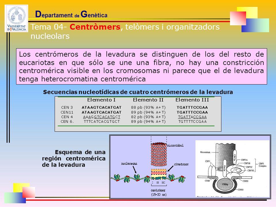 D epartament de G enètica Los centrómeros de la levadura se distinguen de los del resto de eucariotas en que sólo se une una fibra, no hay una constri
