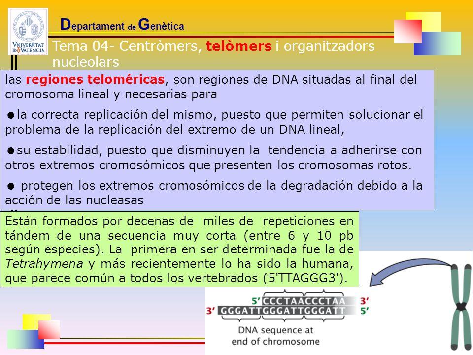D epartament de G enètica las regiones teloméricas, son regiones de DNA situadas al final del cromosoma lineal y necesarias para la correcta replicaci