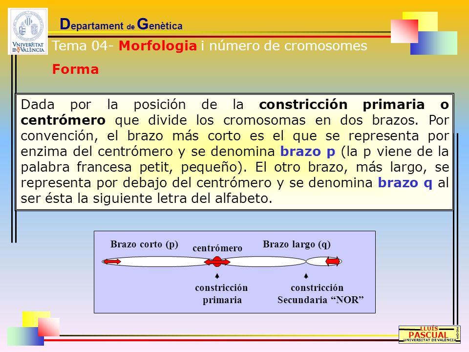 D epartament de G enètica LLUÍS PASCUAL UNIVERSITAT DE VALÈNCIA 20032003 Dada por la posición de la constricción primaria o centrómero que divide los