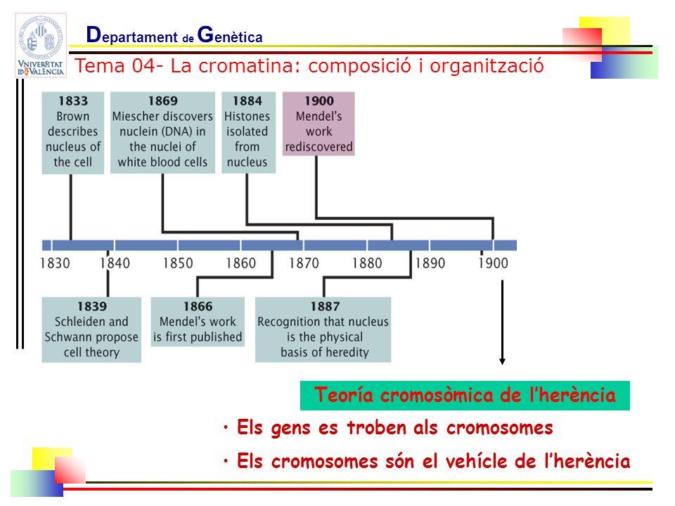Teoría cromosòmica de lherència Els gens es troben als cromosomes Els cromosomes són el vehícle de lherència Tema 04- La cromatina: composició i organ