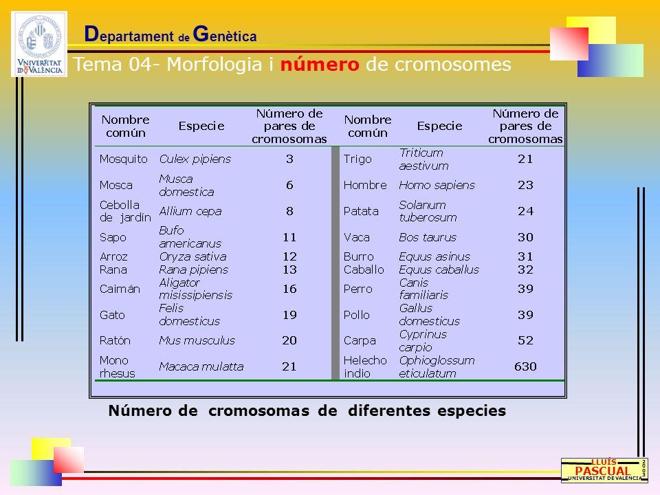 D epartament de G enètica LLUÍS PASCUAL UNIVERSITAT DE VALÈNCIA 20032003 Número de cromosomas de diferentes especies Tema 04- Morfologia i número de c