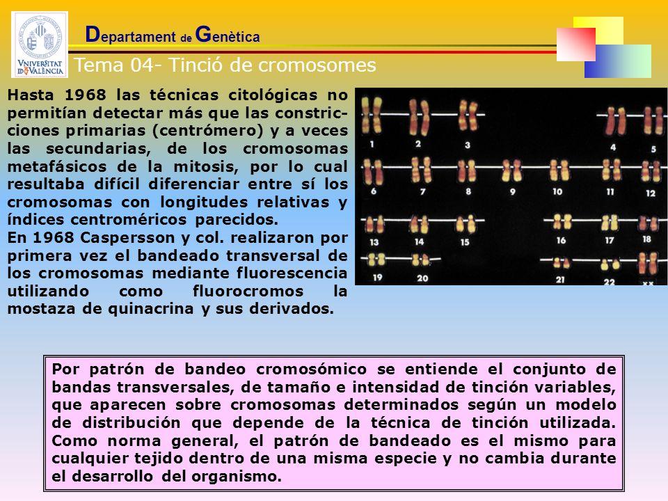 D epartament de G enètica Por patrón de bandeo cromosómico se entiende el conjunto de bandas transversales, de tamaño e intensidad de tinción variable
