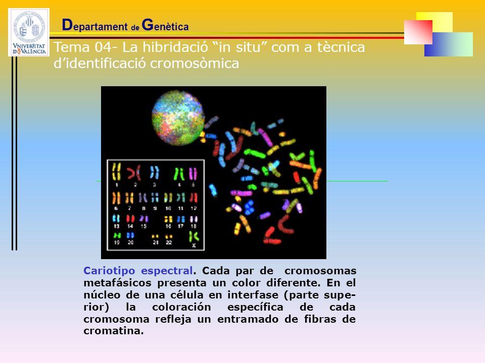 D epartament de G enètica Tema 04- La hibridació in situ com a tècnica didentificació cromosòmica Cariotipo espectral. Cada par de cromosomas metafási