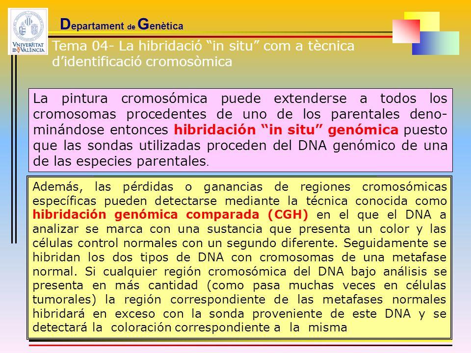 D epartament de G enètica La pintura cromosómica puede extenderse a todos los cromosomas procedentes de uno de los parentales deno- minándose entonces