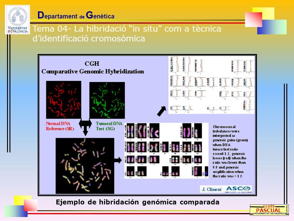D epartament de G enètica LLUÍS PASCUAL UNIVERSITAT DE VALÈNCIA 20032003 Ejemplo de hibridación genómica comparada Tema 04- La hibridació in situ com