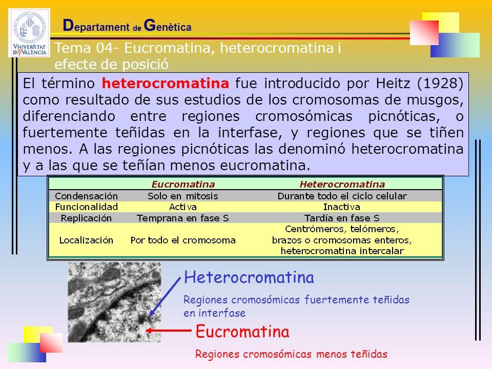 D epartament de G enètica El término heterocromatina fue introducido por Heitz (1928) como resultado de sus estudios de los cromosomas de musgos, dife
