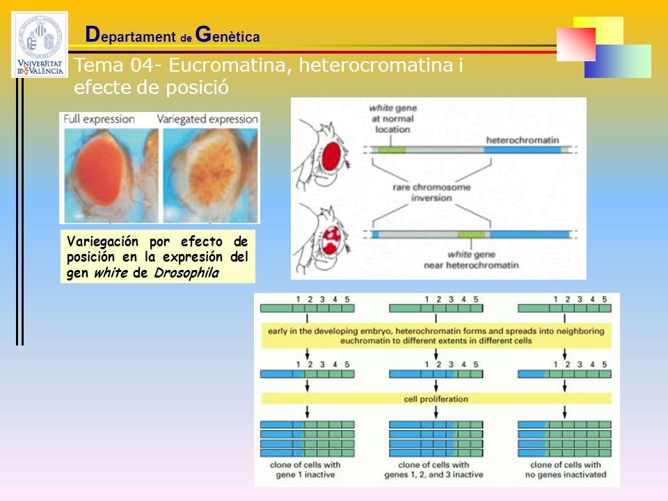 D epartament de G enètica Tema 04- Eucromatina, heterocromatina i efecte de posició Variegación por efecto de posición en la expresión del gen white d