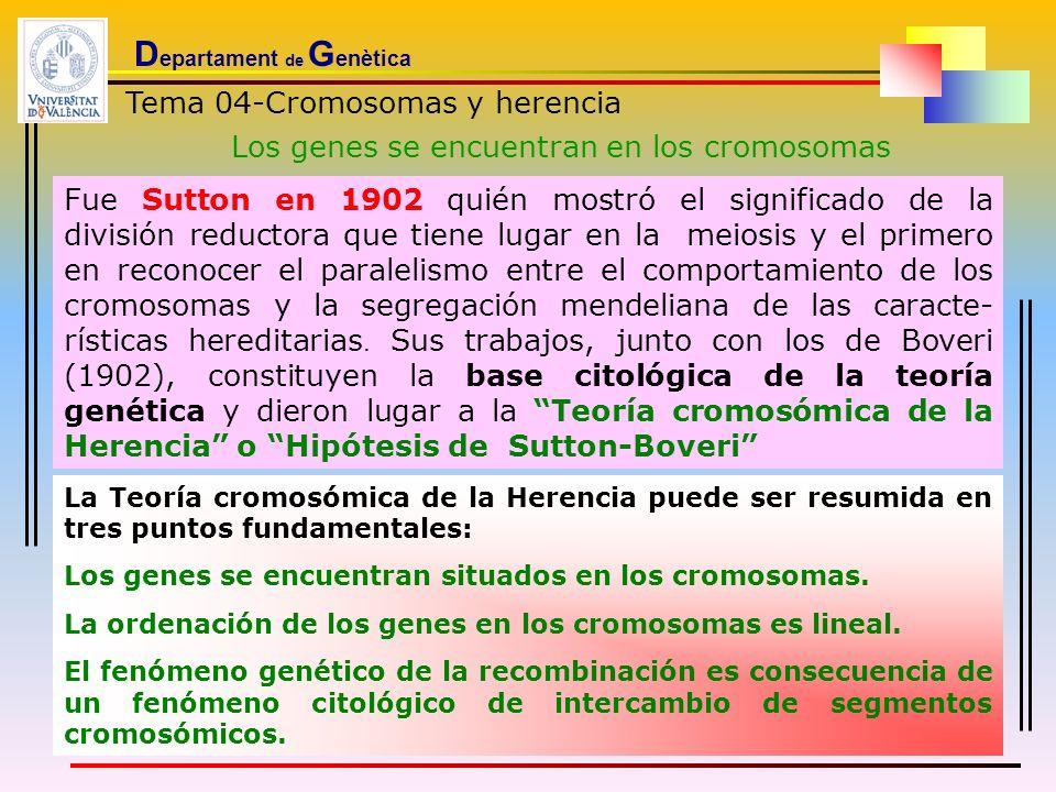 D epartament de G enètica Tema 04-Cromosomas y herencia Los genes se encuentran en los cromosomas Fue Sutton en 1902 quién mostró el significado de la