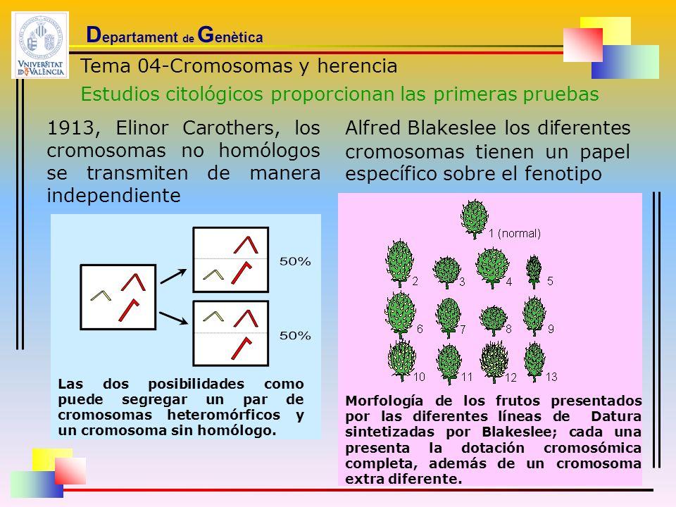 D epartament de G enètica Tema 04-Cromosomas y herencia Estudios citológicos proporcionan las primeras pruebas 1913, Elinor Carothers, los cromosomas