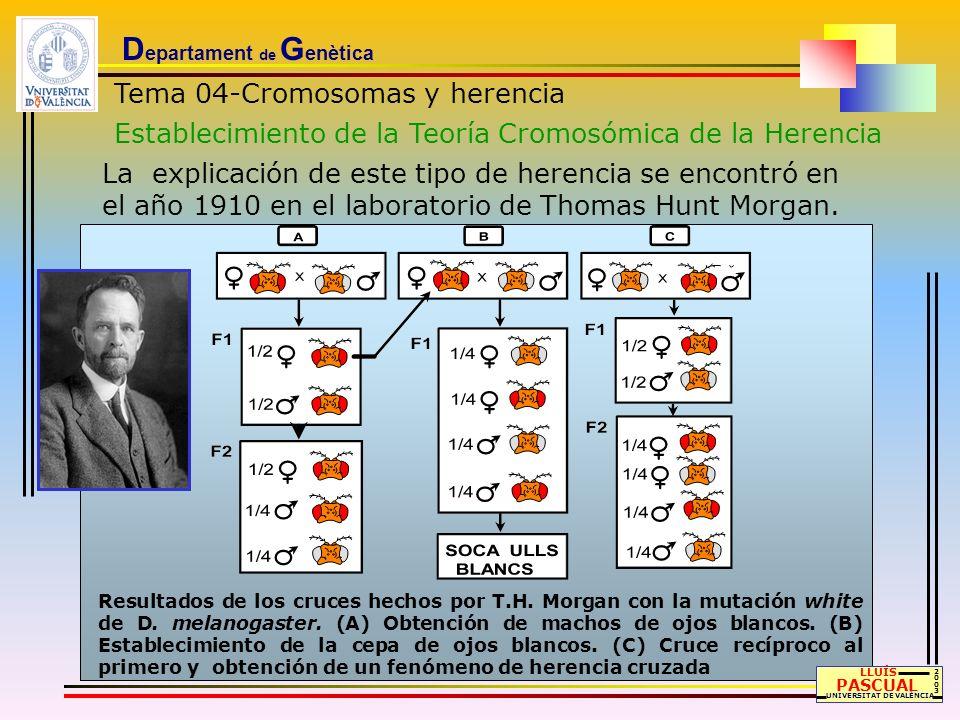 D epartament de G enètica Tema 04-Cromosomas y herencia Establecimiento de la Teoría Cromosómica de la Herencia La explicación de este tipo de herenci