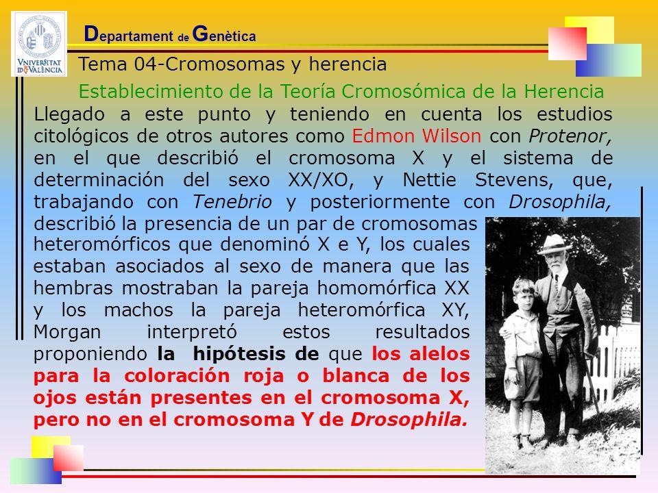 D epartament de G enètica Tema 04-Cromosomas y herencia Establecimiento de la Teoría Cromosómica de la Herencia Llegado a este punto y teniendo en cue