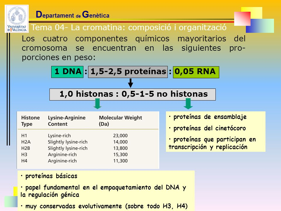 Las histonas: son proteínas básicas, con gran cantidad relativa de los aminoácidos lisina y arginina (entre el 20 y el 30%) cinco tipos fundamentales comunes a todos los cromosomas eucario-tas: H1, H2A, H2B, H3 y H4, todas presentes en cantidades equimo-leculares menos la histona H1 puede destacarse su conservadurismo evolutivo, especialmente las histonas H3 y H4 su papel fundamental es el empaquetamiento del DNA dentro del núcleo de la célula si bien en los últimos años se les está otorgando también un papel en la regulación de la expresión génica D epartament de G enètica LLUÍS PASCUAL UNIVERSITAT DE VALÈNCIA 20032003 histonas del timo de ternera (H1 corresponde a timo de conejo) *expresada en (nº cambios/ 100 a.a./ 10 8 años) Tema 04- La cromatina: composició i organització