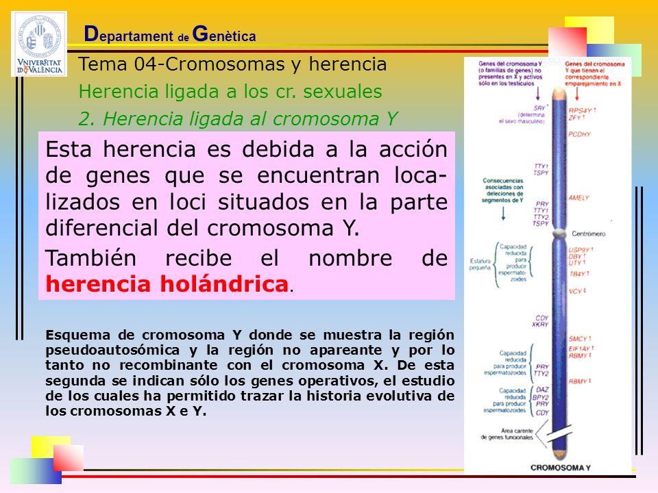 D epartament de G enètica Tema 04-Cromosomas y herencia Herencia ligada a los cr. sexuales 2. Herencia ligada al cromosoma Y Esta herencia es debida a