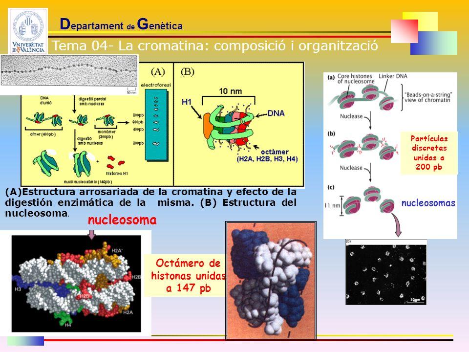 D epartament de G enètica (A)Estructura arrosariada de la cromatina y efecto de la digestión enzimática de la misma. (B) Estructura del nucleosoma. Te