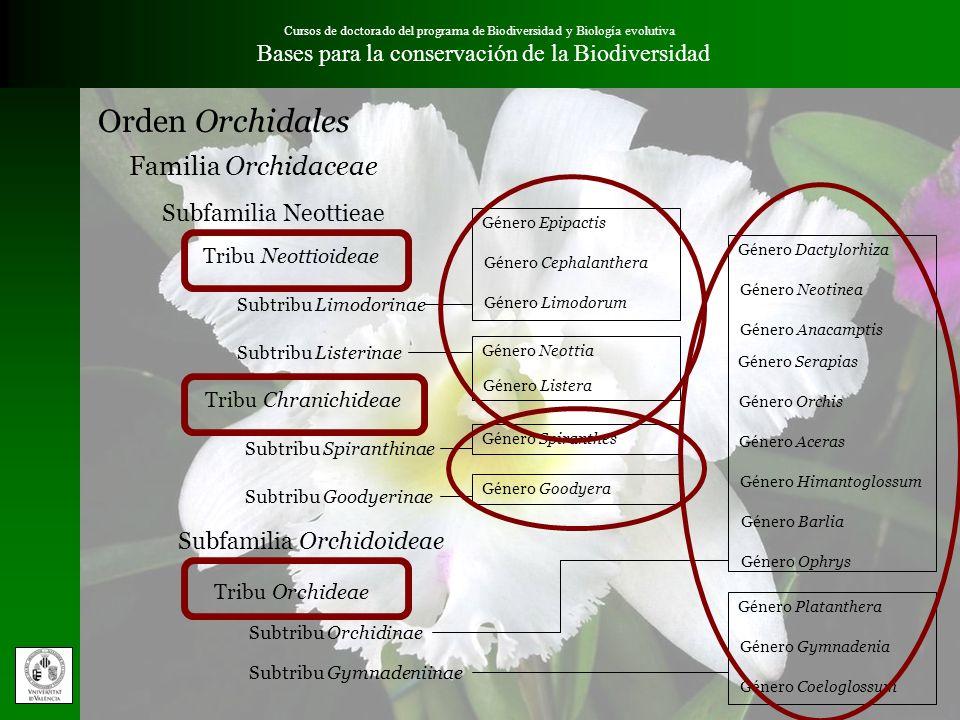 Cursos de doctorado del programa de Biodiversidad y Biología evolutiva Bases para la conservación de la Biodiversidad Subfamilia Orchidoideae Subfamil
