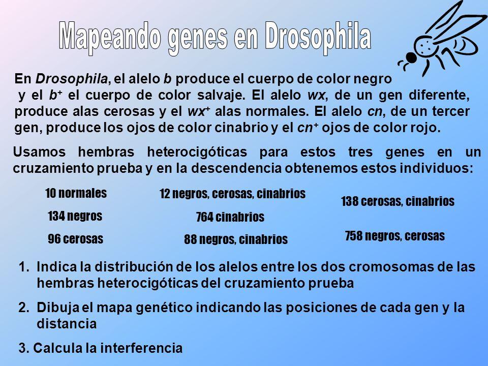 En Drosophila, el alelo b produce el cuerpo de color negro y el b + el cuerpo de color salvaje. El alelo wx, de un gen diferente, produce alas cerosas