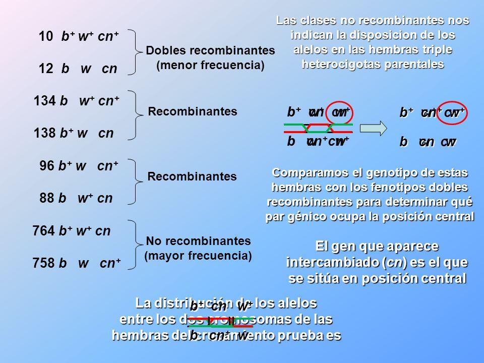 b + w + cn + b w cn b + w + cn b w cn + b + cn w + b cn + w b + cn + w + b cn w Recombinantes 764 b + w + cn 758 b w cn + La distribución de los alelo