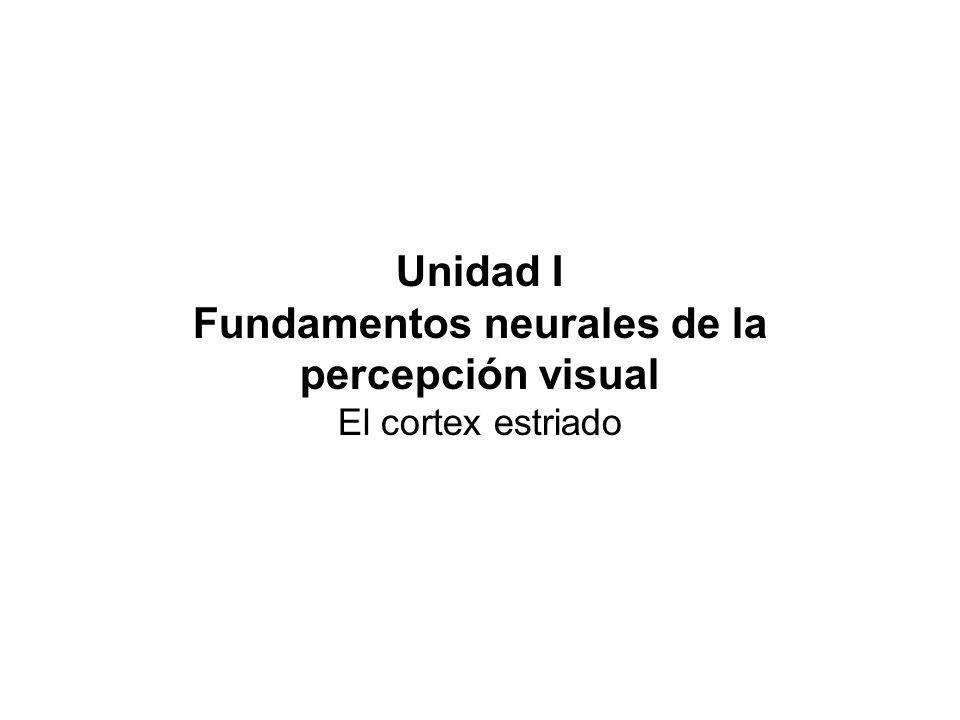 Unidad I Fundamentos neurales de la percepción visual El cortex estriado
