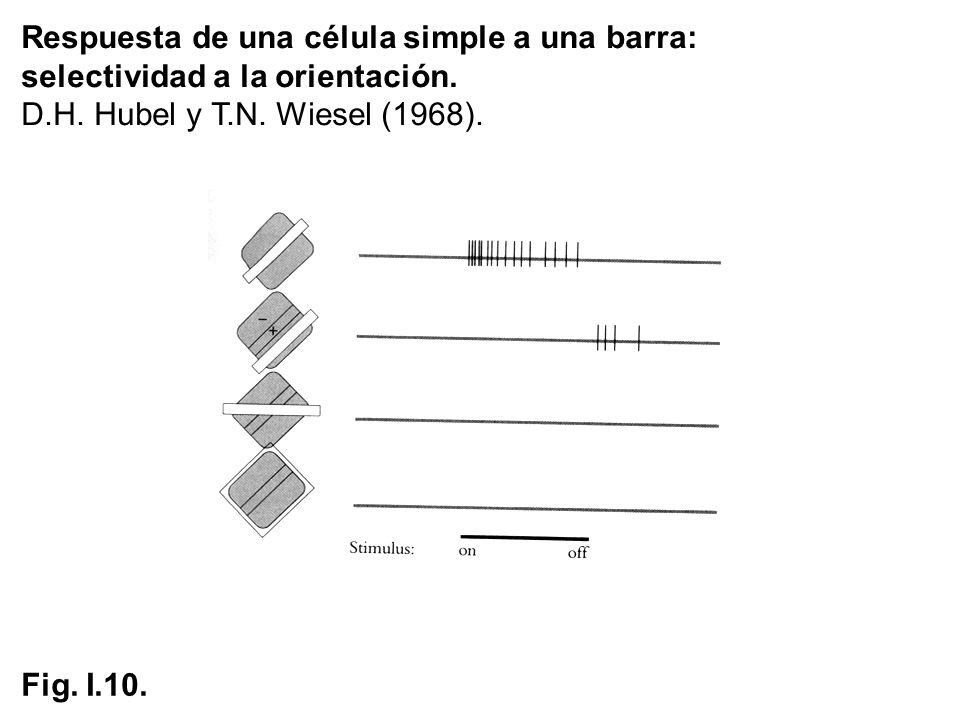 Respuesta de una célula simple a una barra: selectividad a la orientación. D.H. Hubel y T.N. Wiesel (1968). Fig. I.10.
