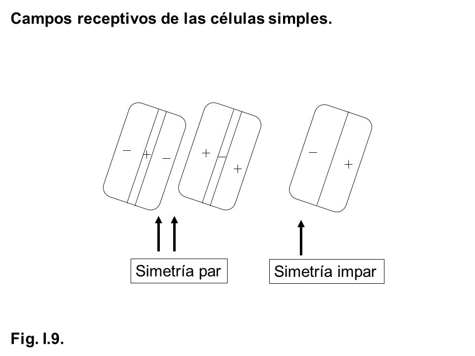 Campos receptivos de las células simples. Simetría impar Simetría par Fig. I.9.