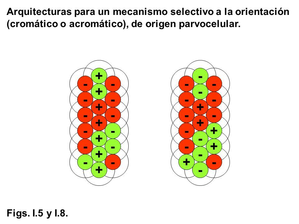 Arquitecturas para un mecanismo selectivo a la orientación (cromático o acromático), de origen parvocelular. + - - - - - -- - + + + + + -- + - - Figs.