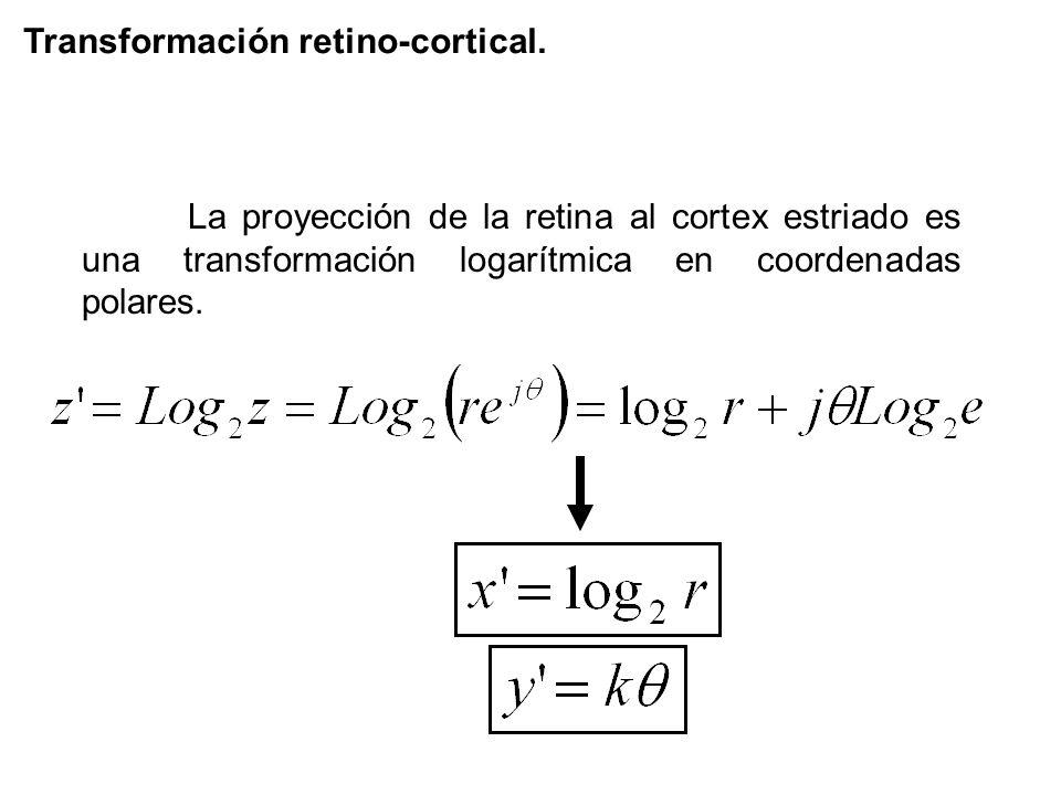Transformación retino-cortical. La proyección de la retina al cortex estriado es una transformación logarítmica en coordenadas polares.