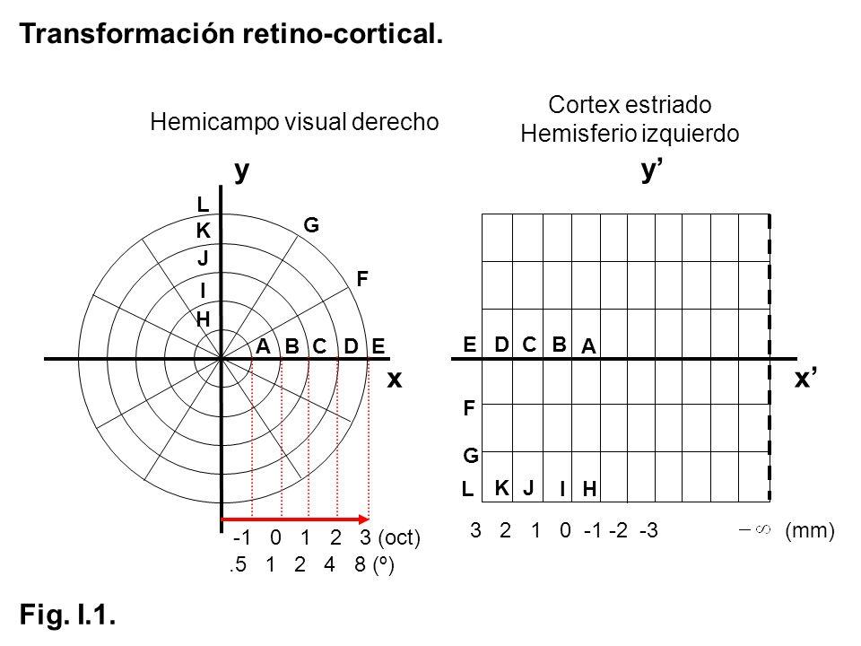 Transformación retino-cortical. Fig. I.1. Hemicampo visual derecho Cortex estriado Hemisferio izquierdo x y AB C DE H I J K L F G ED C B A x y KJ IH L