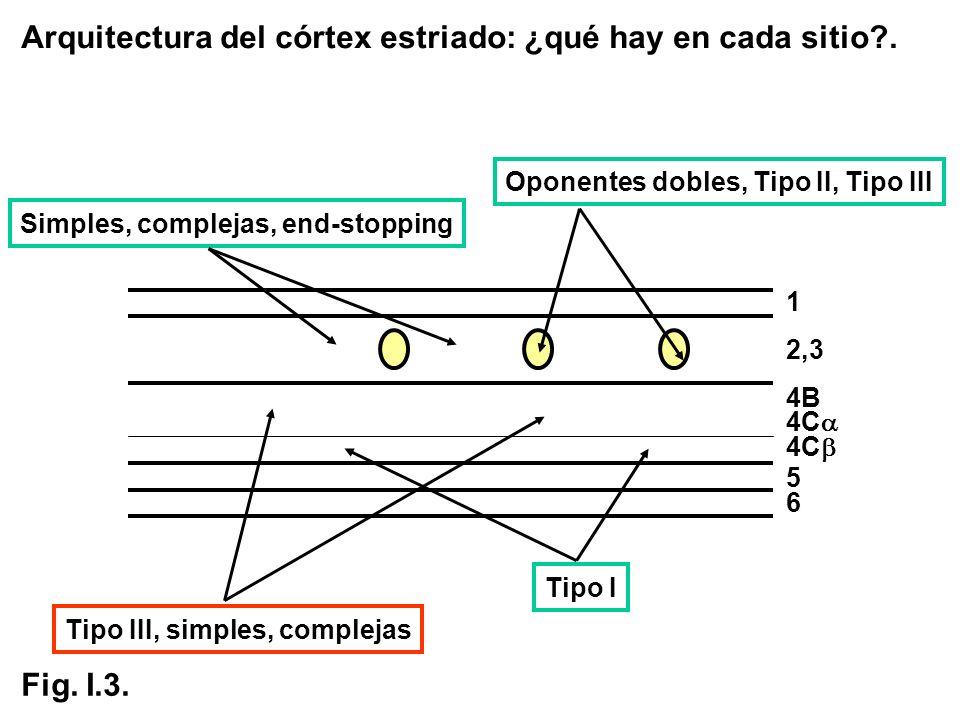Arquitectura del córtex estriado: ¿qué hay en cada sitio?. Simples, complejas, end-stopping Tipo III, simples, complejas Tipo I 1 2,3 4C 5 6 4B Oponen