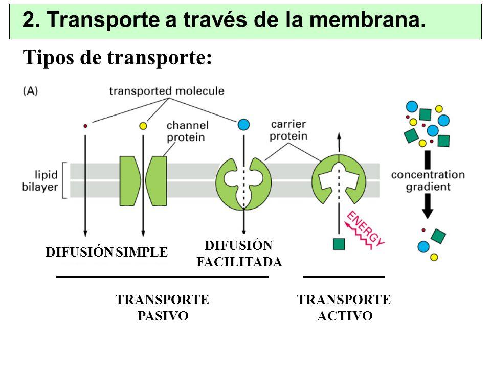 2. Transporte a través de la membrana. TRANSPORTE ACTIVO TRANSPORTE PASIVO DIFUSIÓN SIMPLE DIFUSIÓN FACILITADA Tipos de transporte: