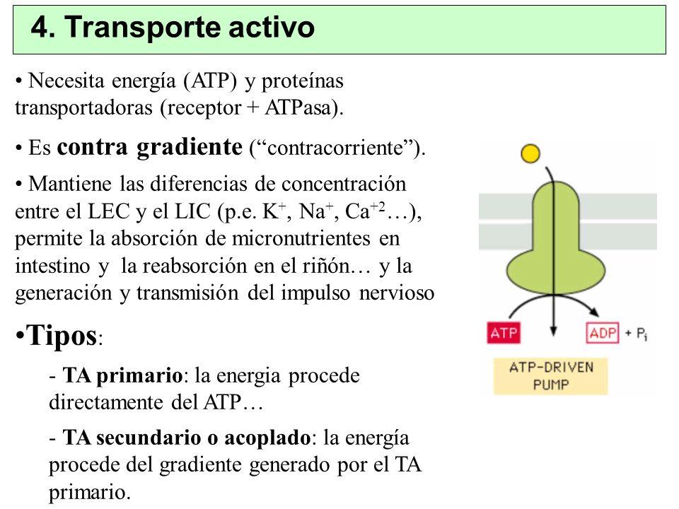 4. Transporte activo Necesita energía (ATP) y proteínas transportadoras (receptor + ATPasa). Es contra gradiente (contracorriente). Mantiene las difer