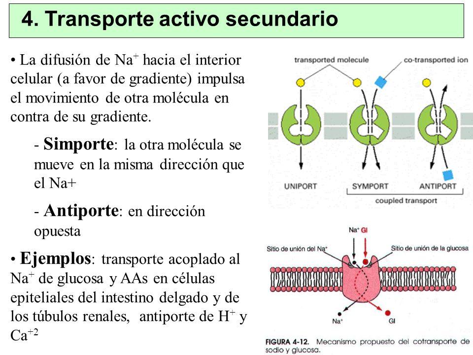 4. Transporte activo secundario La difusión de Na + hacia el interior celular (a favor de gradiente) impulsa el movimiento de otra molécula en contra