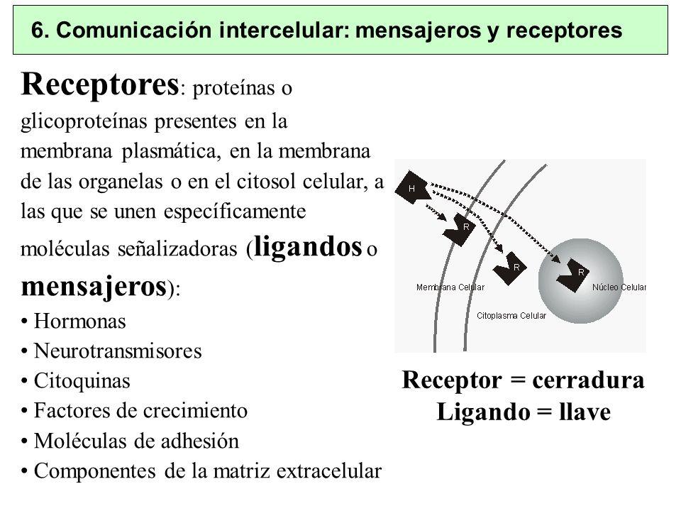 6. Comunicación intercelular: mensajeros y receptores Receptores : proteínas o glicoproteínas presentes en la membrana plasmática, en la membrana de l