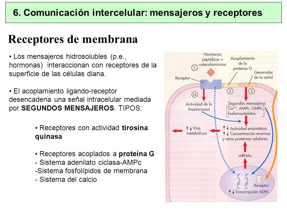 Receptores de membrana Receptores con actividad tirosina quinasa Receptores acoplados a proteína G - Sistema adenilato ciclasa-AMPc -Sistema fosfolípi