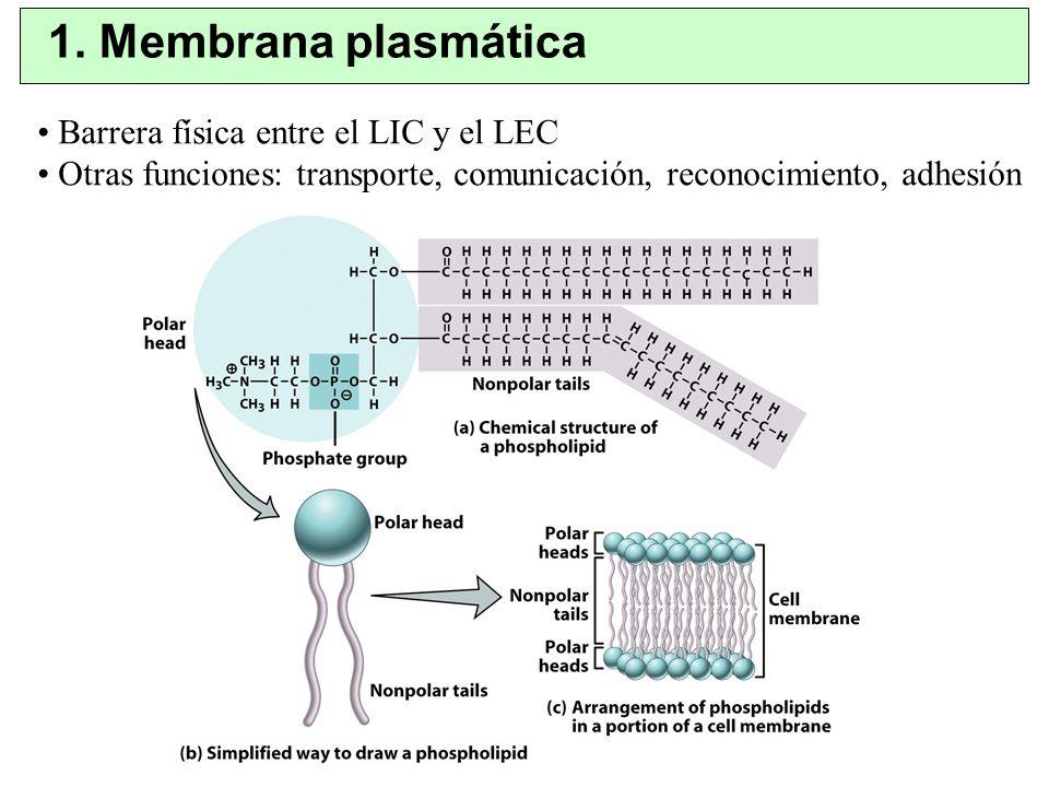1. Membrana plasmática Barrera física entre el LIC y el LEC Otras funciones: transporte, comunicación, reconocimiento, adhesión