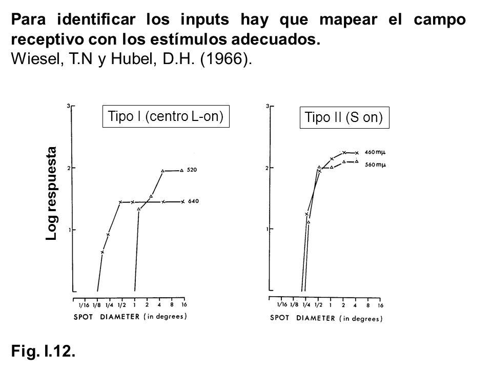 Tipo I (centro L-on) Tipo II (S on) Para identificar los inputs hay que mapear el campo receptivo con los estímulos adecuados. Wiesel, T.N y Hubel, D.