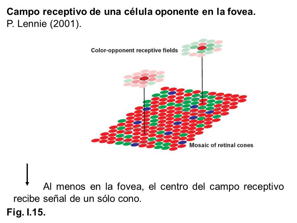 Campo receptivo de una célula oponente en la fovea. P. Lennie (2001). Al menos en la fovea, el centro del campo receptivo recibe señal de un sólo cono