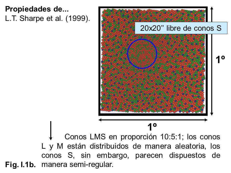 Propiedades de... L.T. Sharpe et al. (1999). 1º Conos LMS en proporción 10:5:1; los conos L y M están distribuidos de manera aleatoria, los conos S, s