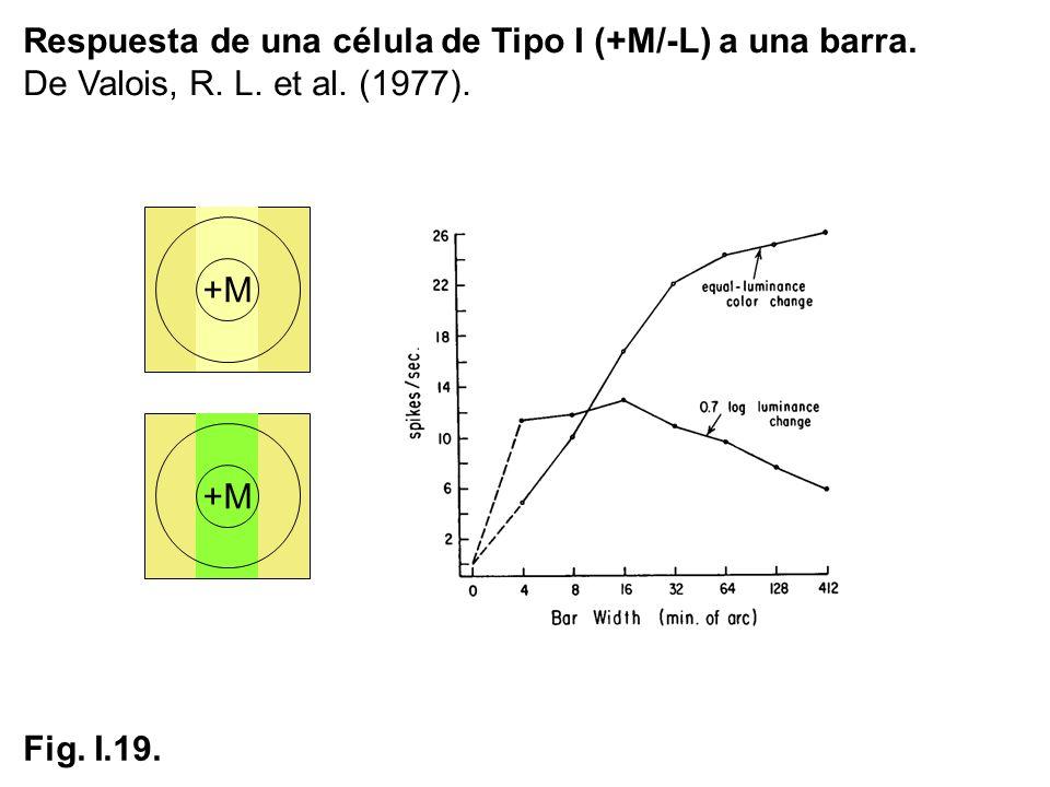 Respuesta de una célula de Tipo I (+M/-L) a una barra. De Valois, R. L. et al. (1977). Fig. I.19. +M