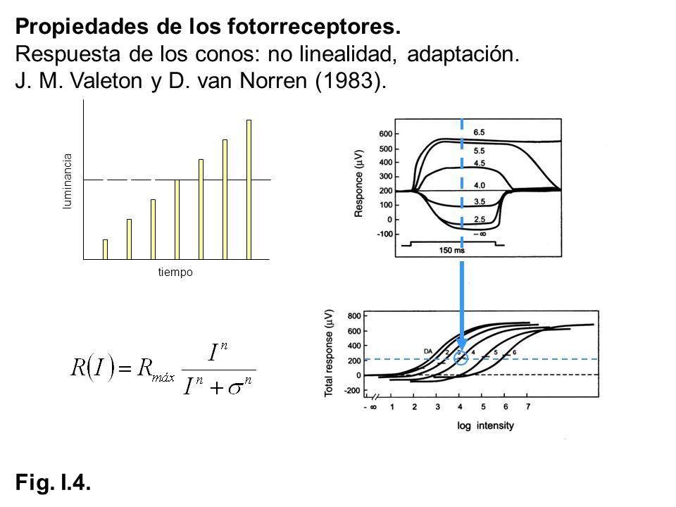 tiempo luminancia Fig. I.4. Propiedades de los fotorreceptores. Respuesta de los conos: no linealidad, adaptación. J. M. Valeton y D. van Norren (1983