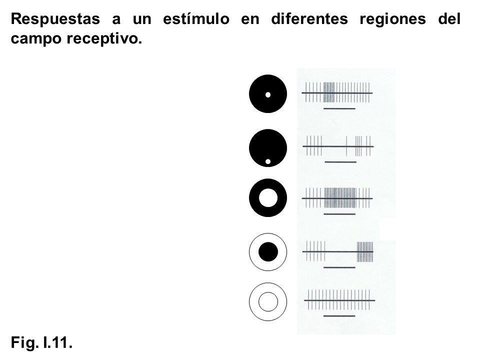 Respuestas a un estímulo en diferentes regiones del campo receptivo. Fig. I.11.