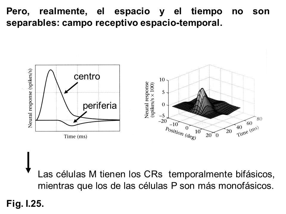 Pero, realmente, el espacio y el tiempo no son separables: campo receptivo espacio-temporal. Las células M tienen los CRs temporalmente bifásicos, mie