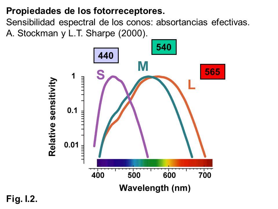 Propiedades de los fotorreceptores. Sensibilidad espectral de los conos: absortancias efectivas. A. Stockman y L.T. Sharpe (2000). 440 565 540 Fig. I.